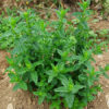 Mint, Chinese (Mentha haplocalyx), packet of 50 seeds, organic