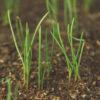 Mormon Tea Green (Ephedra viridis), packet of 30 seeds [AUS/NZ NO]