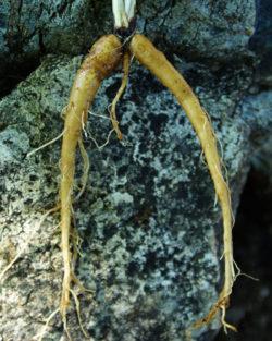 Murnong (Microseris lanceolata), packet of 10 seeds, organic