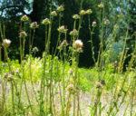 Thistle, Milk (Silybum marianum), packet of 50 seeds, organic [WA no]