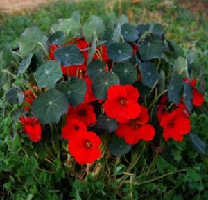 Nasturtium, Empress of India (Tropaeolum nanum), packet of 15 seeds