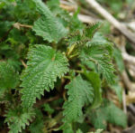 Nettles, Stinging (Urtica dioica), packet of 200 seeds, organic