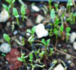 Nigella, Black Seed (Nigella sativa), packet of 100 seeds, organic