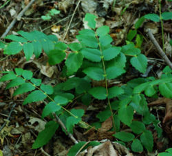 Oregon Grape, Creeping (Mahonia repens), packet of 20 seeds