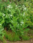 Wild Quinine (Parthenium integrifolium), packet of 50 seeds, organic