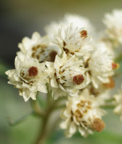 Pearly Everlasting (Anaphalis margaritaceae), packet of 100 seeds