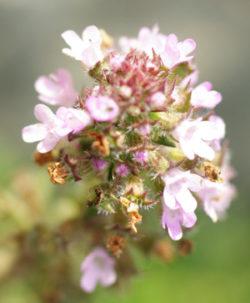 Pennyroyal (Mentha pulegium), packet of 100 seeds, organic