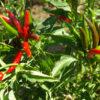 Pepper, Yunnan (Capsicum frutescens), packet of 20 seeds, organic