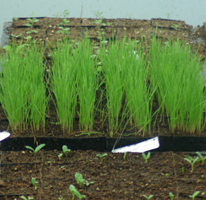 Grass, Phalaris (Phalaris aquatica), packet of 50 seeds, organic