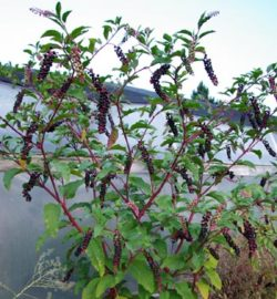 Poke, Domestic (Phytolacca americana), packet of 100 seeds, organic