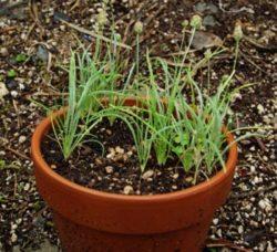 Plantain, Psyllium (Plantago psyllium), packet of 100 seeds, organic