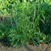 Plantain, Herba Stella (Plantago coronopus), packet of 100 seeds
