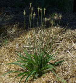 Plantain, Narrow-leaved (Plantago lanceolata), packet of 100 seeds, organic