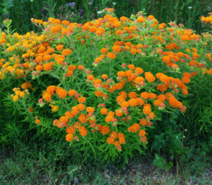 Pleurisy Root, Official (Asclepias tuberosa), packet of 50 seeds