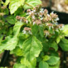 Patchouli, True (Pogostemon cablin), packet of 10 seeds, organic
