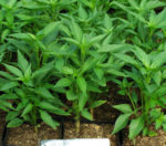 Pepper, Pong Sri Thai (Capsicum frutescens) packet of 30 seeds, Organic