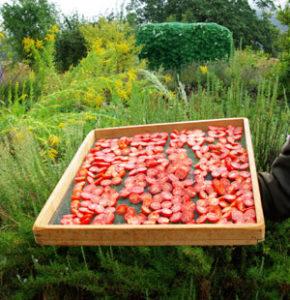Tomato, Principe Borghese (Lycopersicon esculentum), packet of 50 seeds, organic