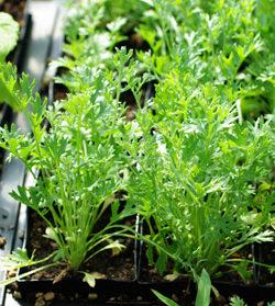 Pyrethrum, Dalmatian (Pyrethrum cinerariaefolium), packet of 50 seeds, organic