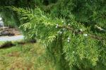 Eastern Red Cedar (Juniperus virginiana), packet of 20 seeds