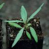 Goji, Red (Lycium barbarum), packet of 100 seeds in dried fruit, organic