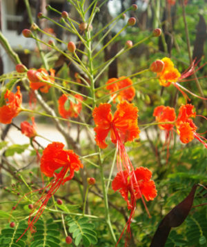 Peacock Flower, Red (Caesalpinia pulcherrima), packet of 10 seeds