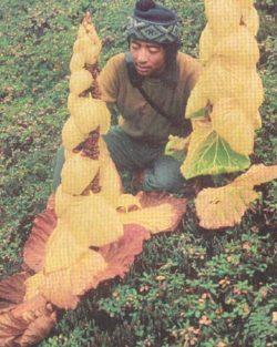 Rhubarb, Noble (Rheum nobile), packet of 10 seeds