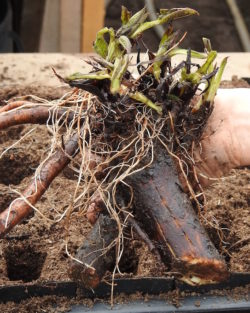 Comfrey, Russian Root Crown Cutting (Bocking 14 Cultivar), organic
