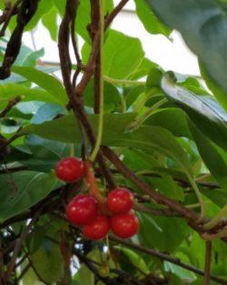 Schisandra, Starvine (Schisandra glabra) potted vine, organic