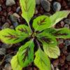 Sage, Lyre-Leaf (Cancer Weed) (Salvia lyrata) seeds, organic