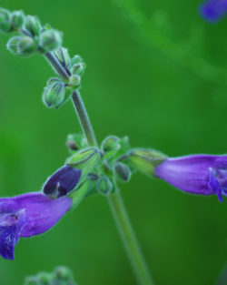 Sage, Dan-shen Gansu (Salvia przewalskii), packet of 20 seeds