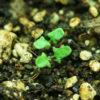 Sage, Black (Salvia mellifera), packet of 100 seeds