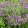 Sage, Garden (Salvia officinalis), packet of 50 seeds, organic