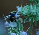 Sage, Sacred White (Salvia apiana), packet of 100 seeds, organic