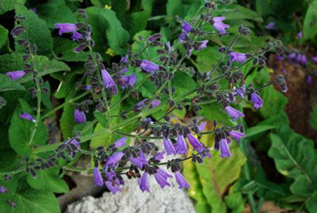 Sage, Kashmir (Salvia hians), packet of 10 seeds
