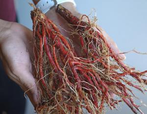 Sage, Dan-shen miltiorrhiza (Salvia miltiorrhiza), packet of 30 seeds, organic