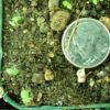 Savory, Pygmy (Satureja spinosa), packet of 20 seeds, organic