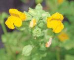 Monkeyflower, Seep Spring (Mimulus guttatus) packet of 50 seeds, organic
