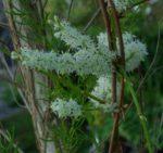 Shatavari (Asparagus racemosus), potted plant, organic
