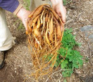 Shatavari (Asparagus racemosus), packet of 30 seeds