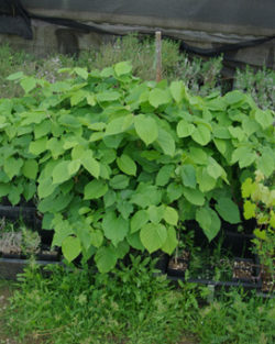 Linden, Silver (Tilia tomentosa) potted tree TOP SIZE