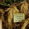 Skullcap, Barbat (Scutellaria barbata), packet of 50 seeds, organic