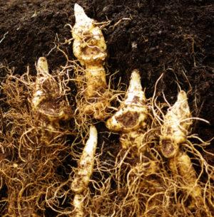 Solomon's Seal, Giant Live Root (Polygonatum biflorum var. commutatum), Organic