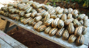 Squash, Winter Delicata, packet of 30 seeds, organic