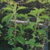 Stevia (Stevia rebaudiana), packet of 25 seeds, organic
