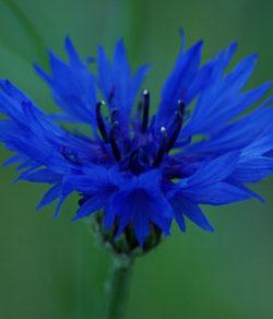 Cornflower, Dark Blue (Centaurea cyanus), packet of 50 seeds, organic
