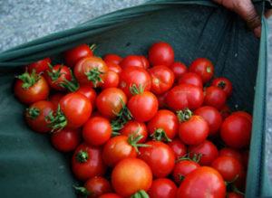 Tomato, Stupice (Lycopersicon esculentum), packet of 30 seeds, organic