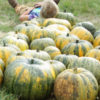Pumpkin, Styrian Hull-less, Standard (Cucurbita pepo), packet of 20 seeds, organic