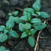 Savory, Summer (Satureja hortensis), packet of 200 seeds, organic