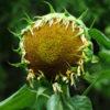 Sunflower, Hopi Black Dye (Helianthus annuus), packet of 30 seeds, organic