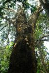 "Tamarind ""Mkwaju"" (Tamarindus indica), potted tree, organic--TOP SIZE!"